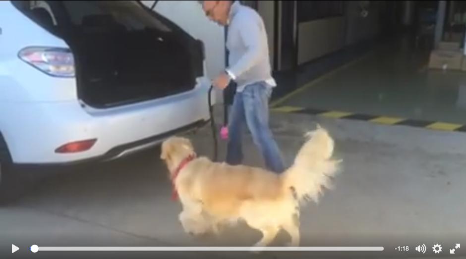 Noa, perra Golden Retriever, con miedo a subir al coche.